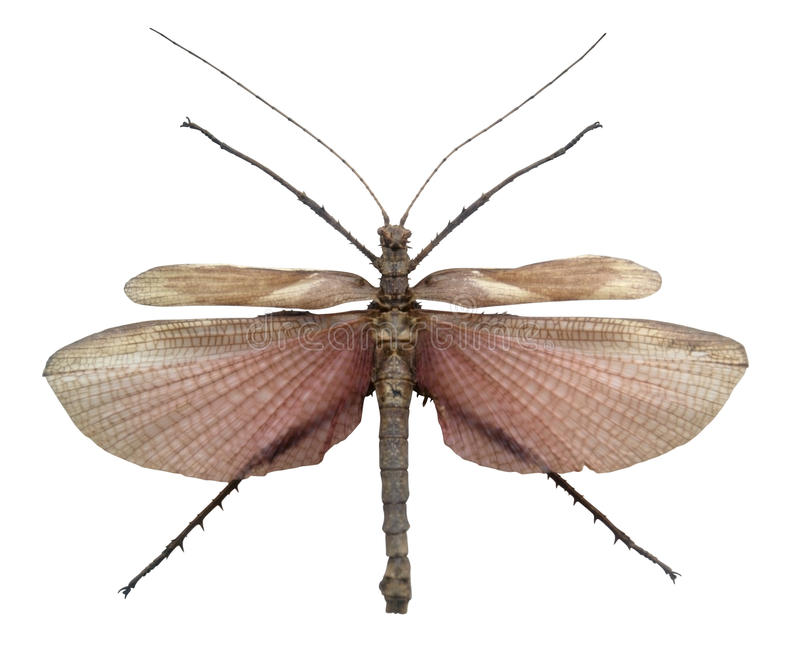 Exotic male grasshopper stock images