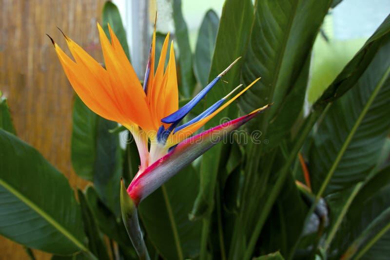 Exotic orange flower. royalty free stock photos