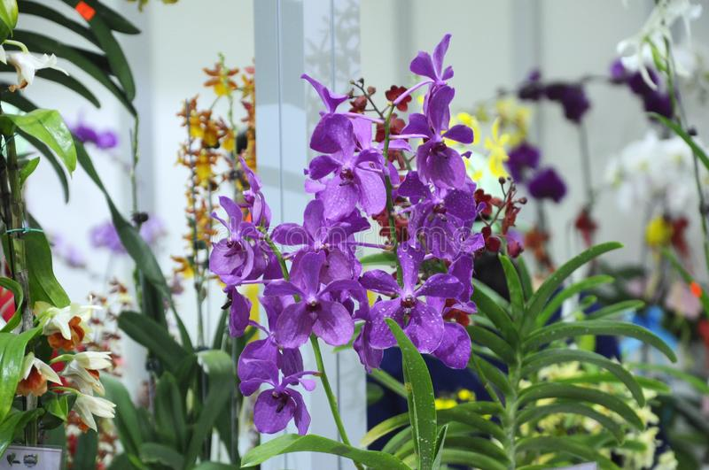 Exotic orchids flower inside the indoor nursery. KUALA LUMPUR, MALAYSIA -AUGUST 25, 2018: Colorful tropical & exotic orchids flower in indoor plants nursery stock images
