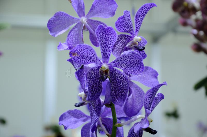 Exotic orchids flower inside the indoor nursery. royalty free stock photo
