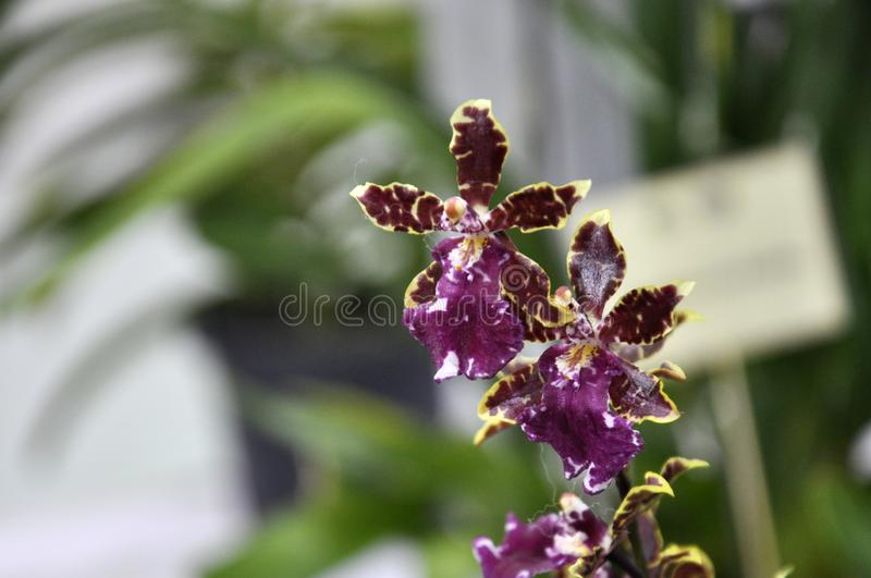 Exotic orchids flower inside the indoor nursery. KUALA LUMPUR, MALAYSIA -AUGUST 25, 2018: Colorful tropical & exotic orchids flower in indoor plants nursery stock photography
