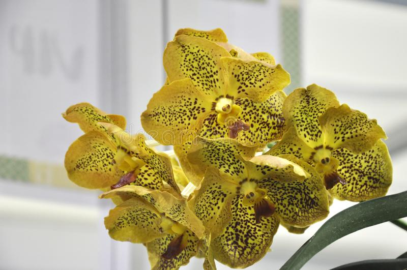 Exotic orchids flower inside the indoor nursery. stock photos
