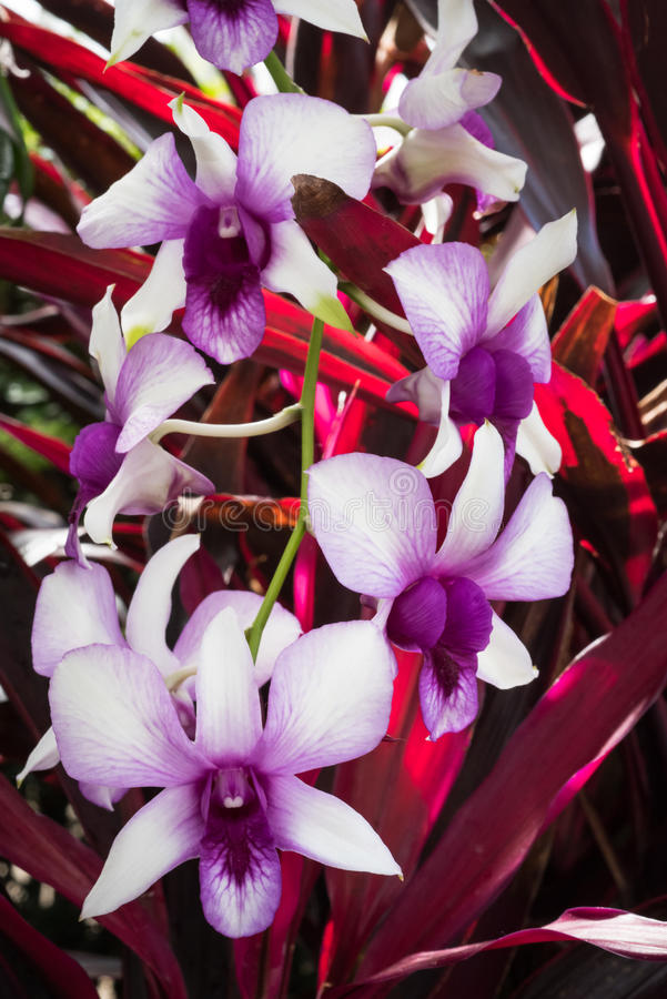 Exotic orchids with red leaves. Pink exotic orchids with red leaves royalty free stock photography