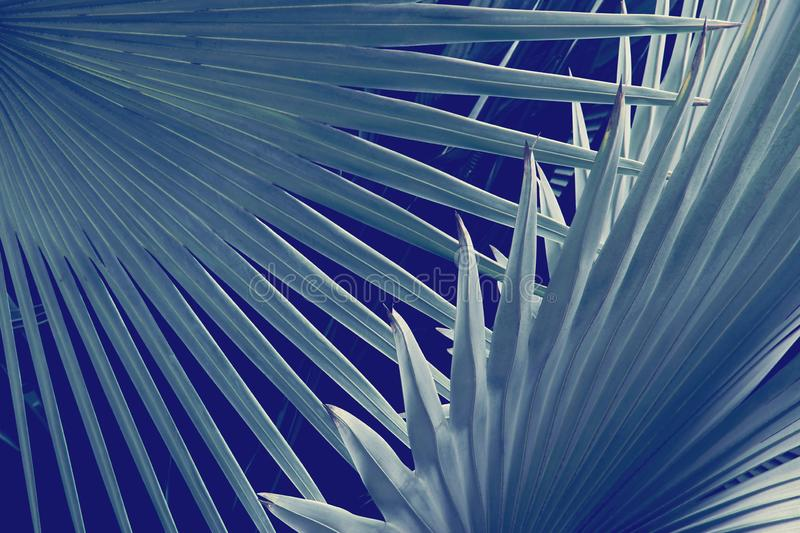 Exotic Palm Foliage Leaves in Blue Tone Color Natural Abstract Pattern Background stock photo