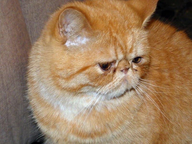 Exotic Persian cat healthy stock image