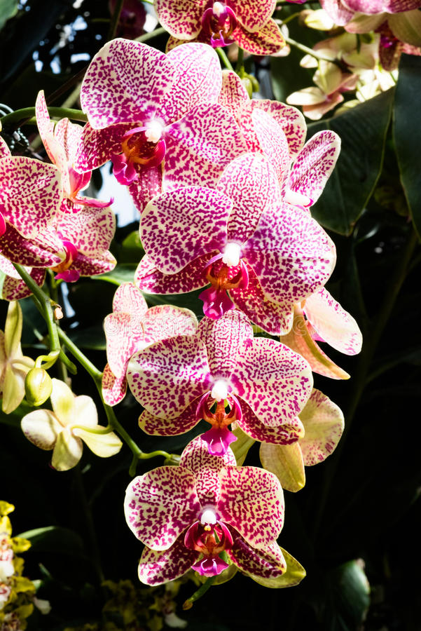 Exotic pink orchids with stripes. Exotic striped orchids with brightly colored leaves sunlit in the botanical garden stock photography
