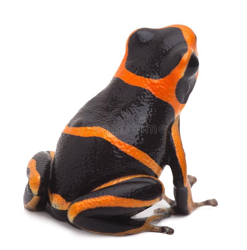 Exotic poison arrow frog stock photo