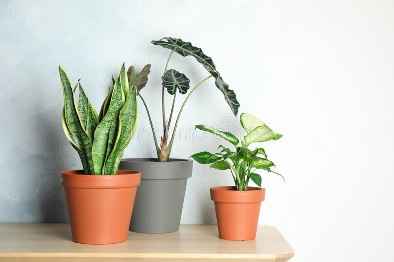 Exotic potted plants on table near light wall stock images
