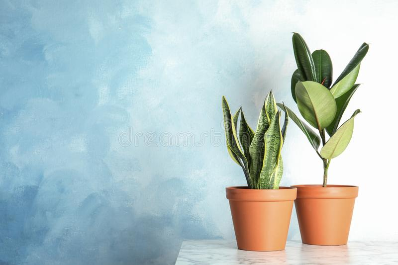 Exotic potted plants on table near light wall. Home decor royalty free stock image