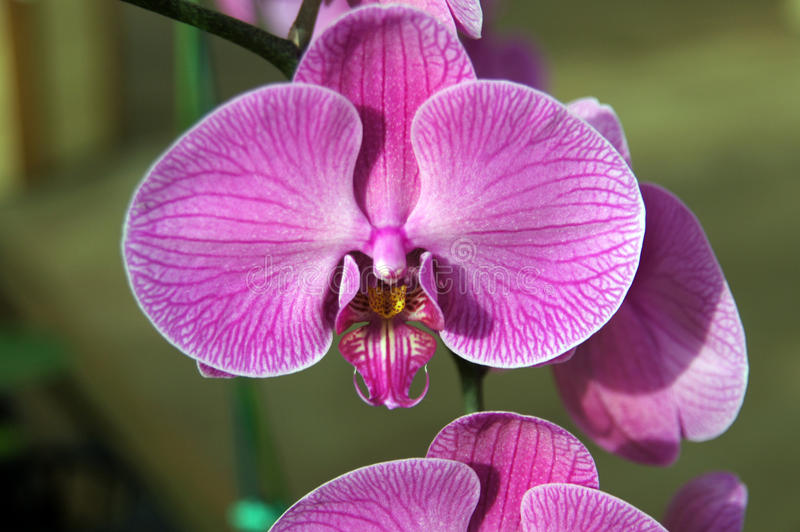 Exotic purple orchids,. Details, from nursery near Kona, Hawaii royalty free stock photography