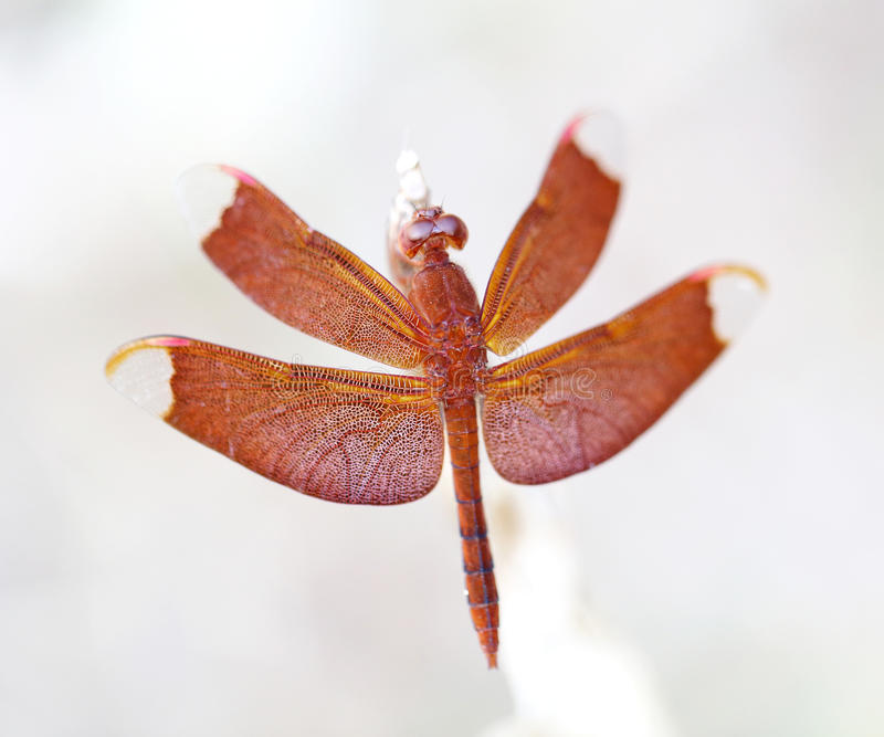 Exotic red dragonfly stock image