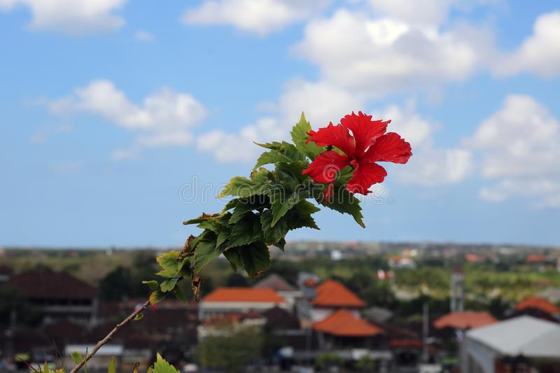 Exotic, Red Tropical Flower with Blue Sky and Town on Jimbaran, Bali in the Background. Exotic, red tropical flower with its leaves photographed in Jimbaran stock images