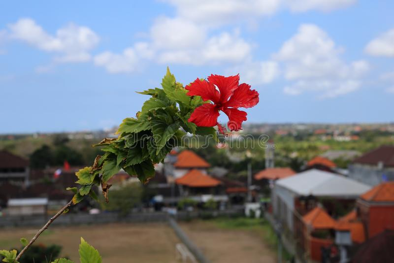 Exotic, Red Tropical Flower with Blue Sky and Town on Jimbaran, Bali in the Background. Exotic, red tropical flower with its leaves photographed in Jimbaran royalty free stock images