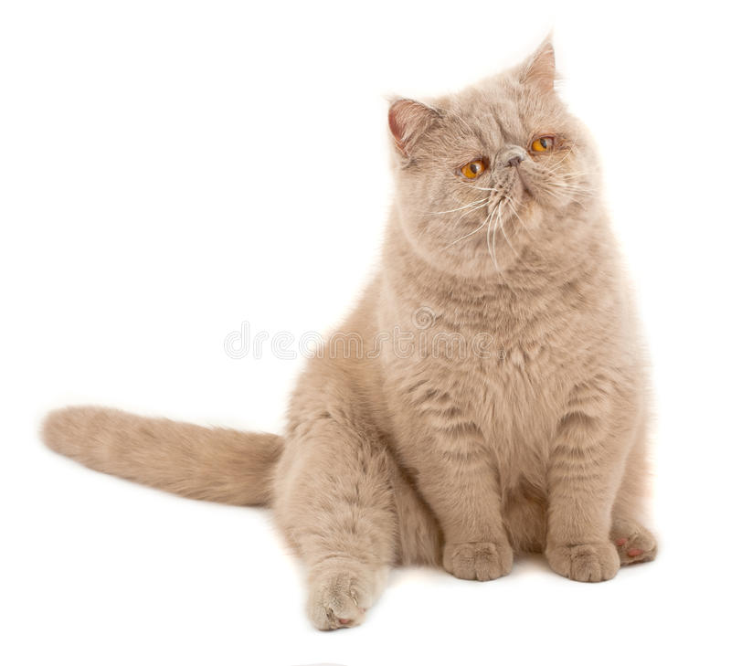 Exotic short-haired cat. Color violet royalty free stock images