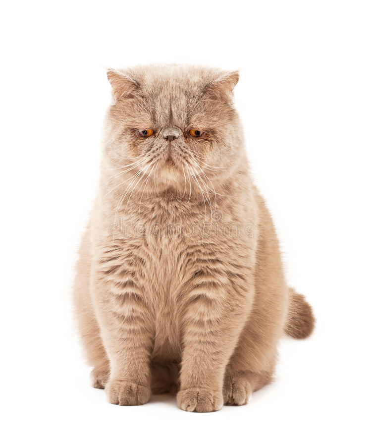 Exotic short-haired cat royalty free stock photography