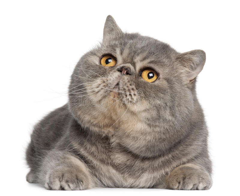 Exotic Shorthair Cat Breeds For Sale