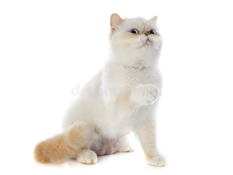 Exotic shorthair cat stock images