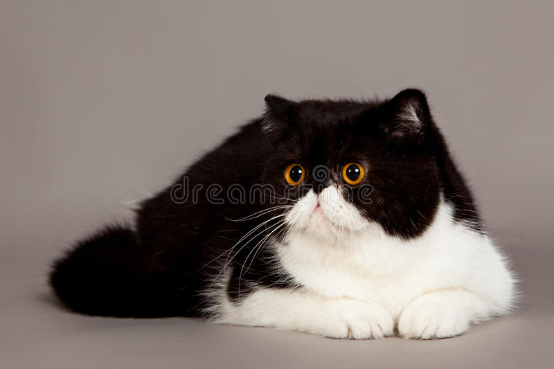 Exotic shorthair cat. persian cat royalty free stock photography