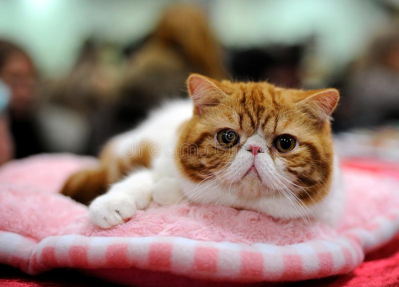 Exotic Shorthair cat royalty free stock photos