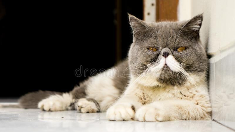Exotic Shorthair Cats looking into the camera. With sad face stock photography