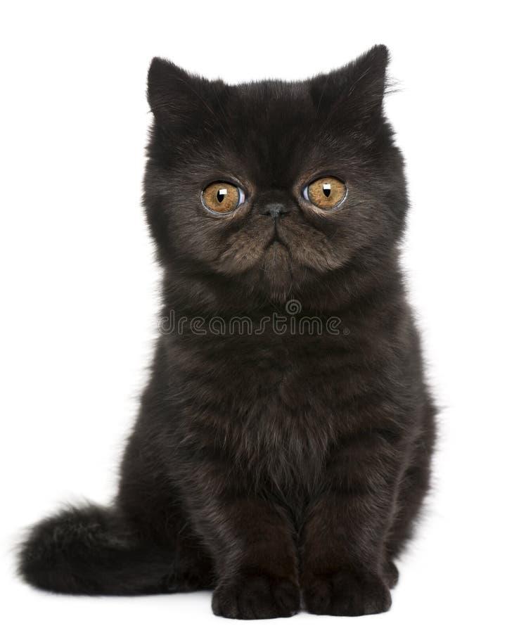 Exotic Shorthair kitten, 3 months old, sitting stock photos