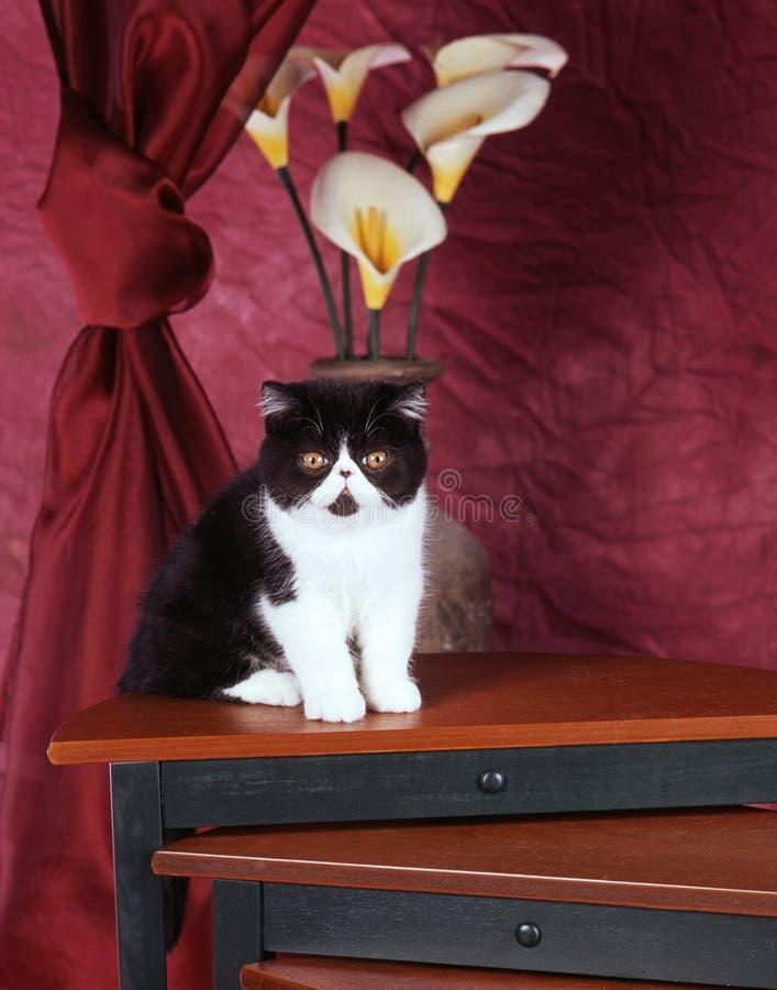 Download Exotic shorthair kitten stock photo. Image of shorthair - 38333742
