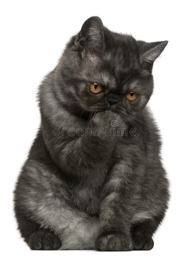 Exotic Shorthair kitten, 4 months old, sitting royalty free stock images