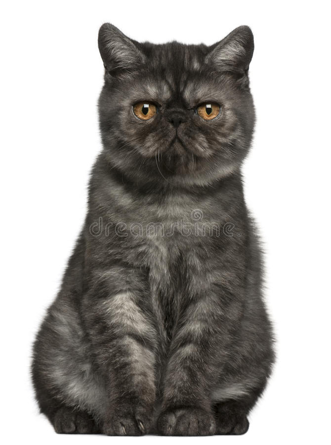 Exotic Shorthair kitten, 4 months old, sitting stock image