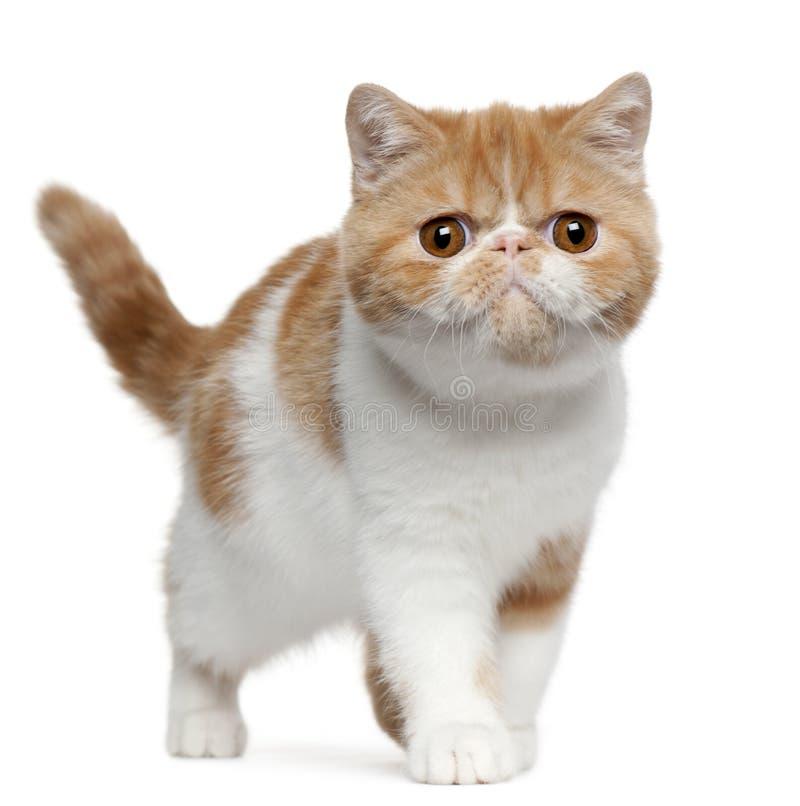 Exotic Shorthair kitten, 4 months old, standing stock photo