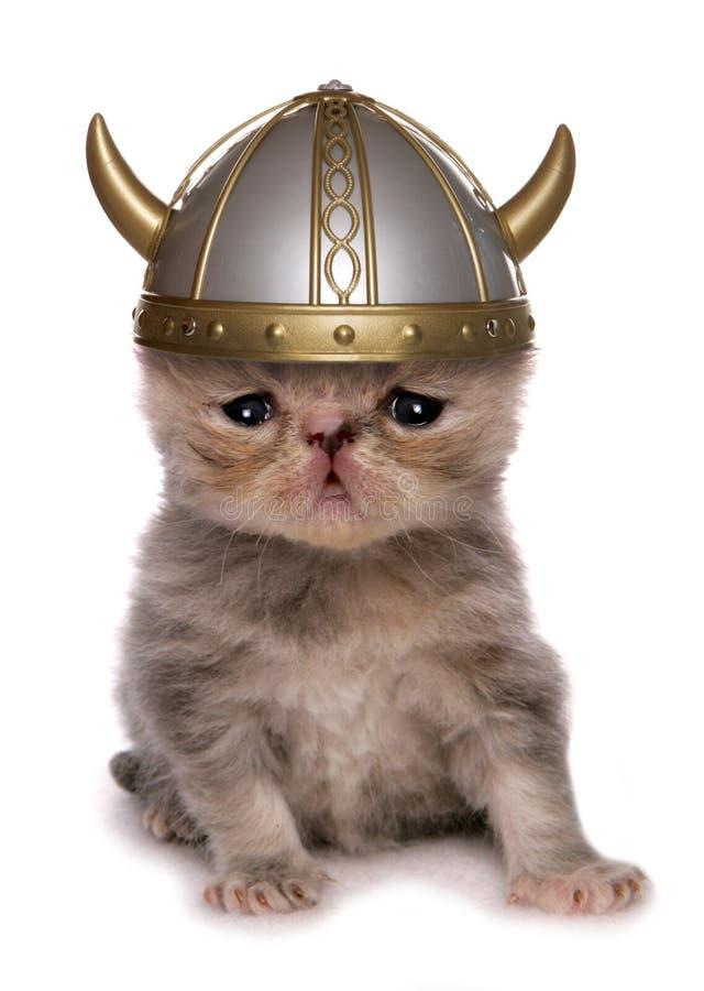 Exotic shorthair viking kitten royalty free stock photo