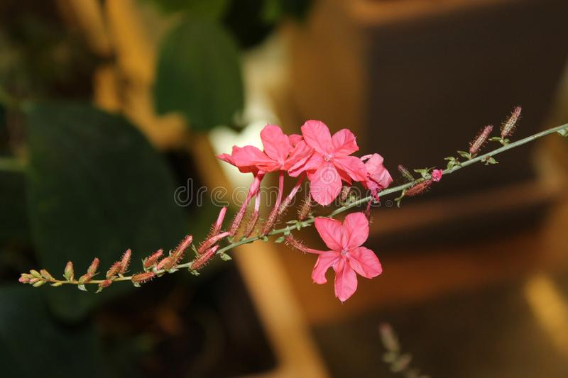 Exotic small pink flowers close-up in the winter garden. royalty free stock photo