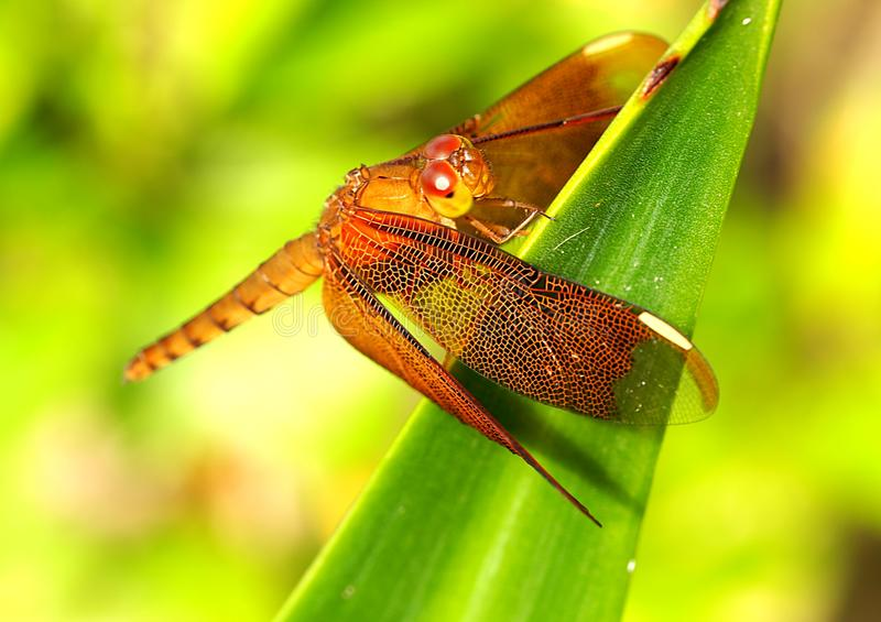 Exotic Dragonfly on Green Leave royalty free stock photos