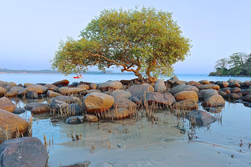 Exotic tree on the beach in India.  stock image