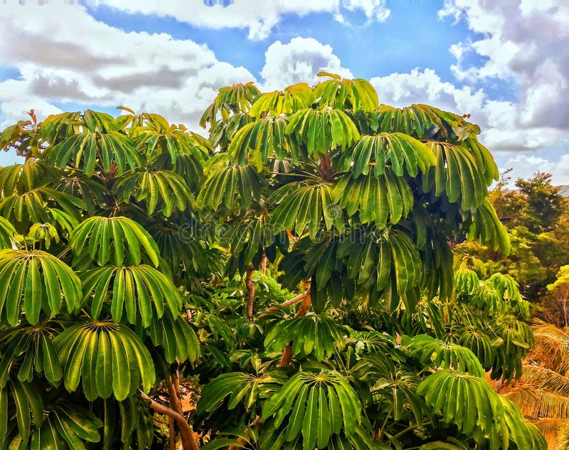 Exotic trees under cloudy blue sky in Cuban resort. On Caribbean island stock photo