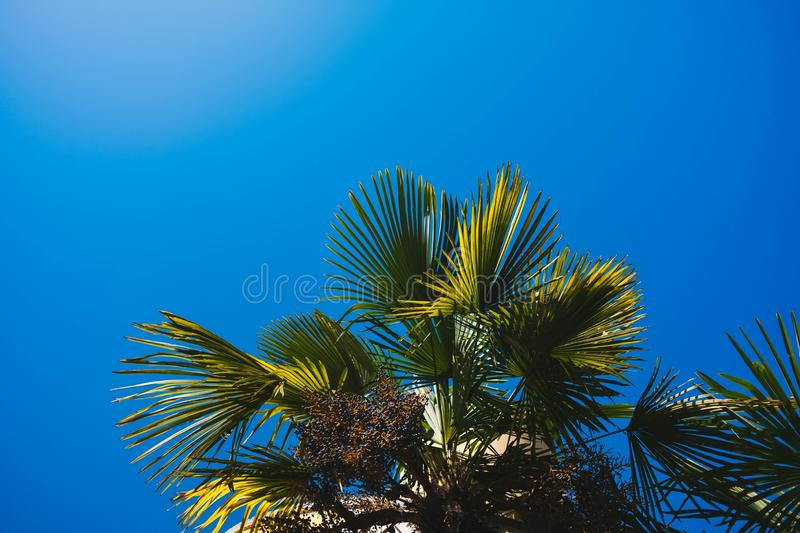 Exotic tropic tree with beautiful blue sky in background. Exotic tropic tree with beautiful blue sky in the background during a sunny day at the beach royalty free stock photography