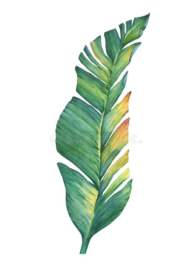 Exotic tropical banana leaves. royalty free illustration