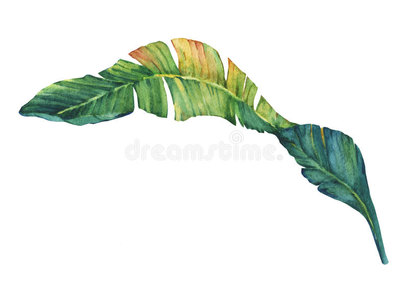 Exotic tropical banana leaves. vector illustration
