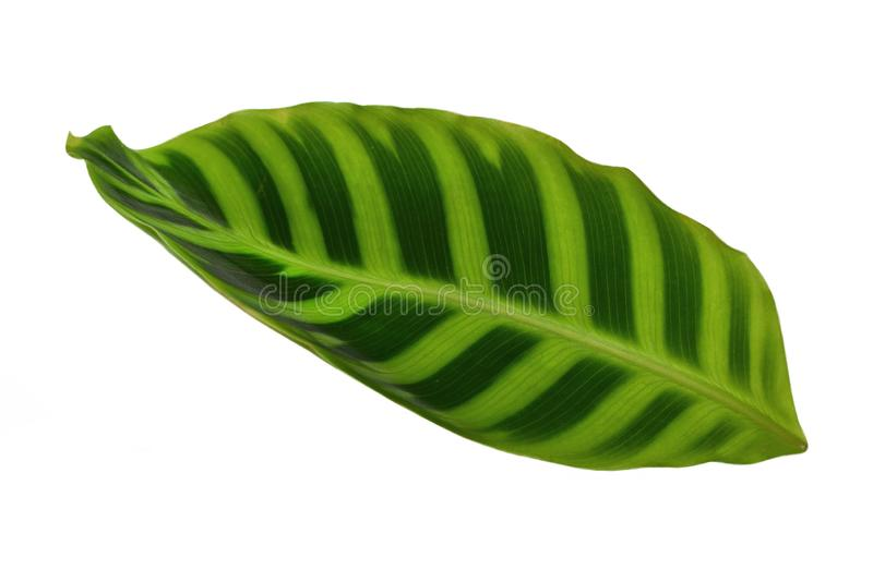 Exotic tropical Calathea Zebrina Marantaceae or Prayer Plant striped bright green leaf stock image