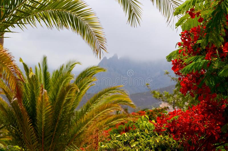 Exotic tropical flora in Torviscas Alto,Tenerife,Canary Islands,Spain. Blooming Flamboyant and palm trees in the garden. Travel or vacation concept royalty free stock photos