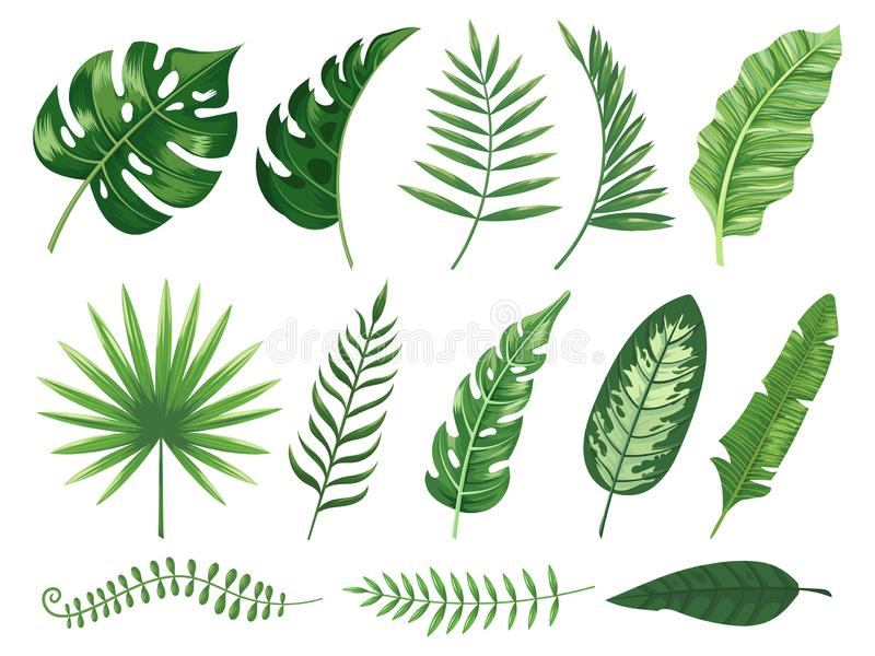 Exotic tropical leaves. Monstera plant leaf, banana plants and green tropics palm leaves isolated vector illustration royalty free illustration