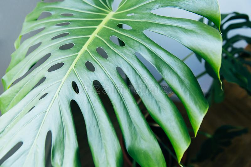 Exotic tropical Monstera palm leaves. Green leaves of monstera palm or split-leaf philodendron. Monstera deliciosa foliage plant. Exotic plant. Floral Pattern stock images