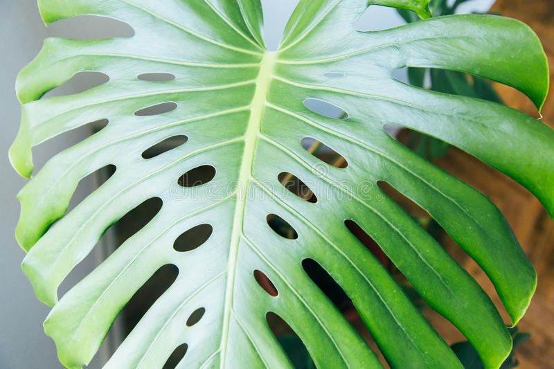 Exotic tropical Monstera palm leaves. Green leaves of monstera palm or split-leaf philodendron. Monstera deliciosa foliage plant. Exotic plant. Floral Pattern royalty free stock image