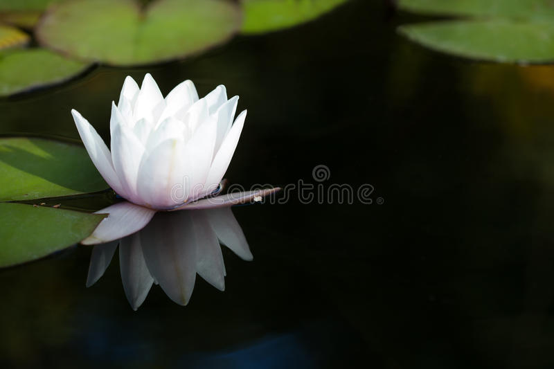 Exotic water lilies in a pond. Blooming white nymphaea waterlily, reflection on dark background. Exotic water lilies in a pond. Blooming white nymphaea waterlily royalty free stock image