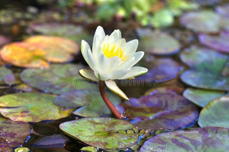 Exotic water lilies in a pond. Blooming yellow nymphaea waterlily. Lotus plants with different kinds and sizes leaves stock photos