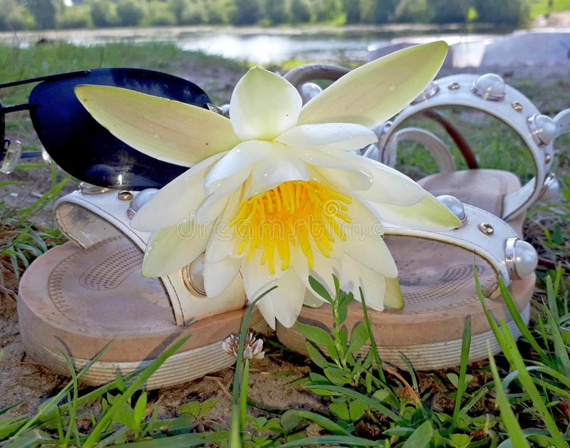 Exotic water lily lies on slippers on the sandy bank of the river, summer landscape.  stock photo