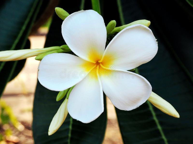 Exotic White Frangipani Flower in the City Park stock images