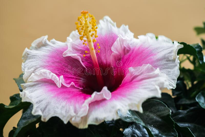 Exotic white and pink hibiscus flower stock images