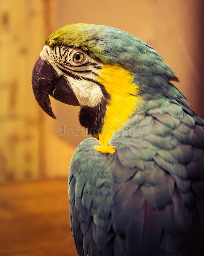 Exotic wild parrot aura of blue-yellow color close-up at the zoo. Exotic pet royalty free stock images