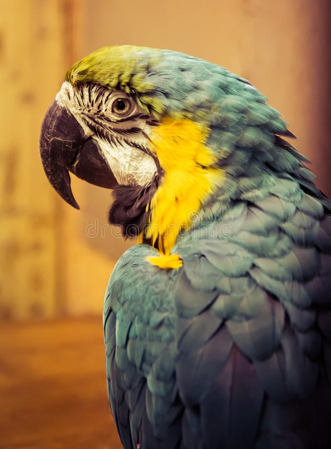 Exotic wild parrot aura of blue-yellow color close-up at the zoo. Exotic pet royalty free stock image