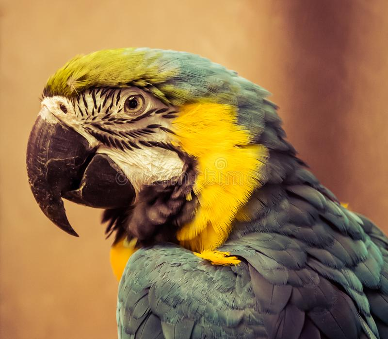 Exotic wild parrot aura of blue-yellow color close-up at the zoo. Exotic pet stock image